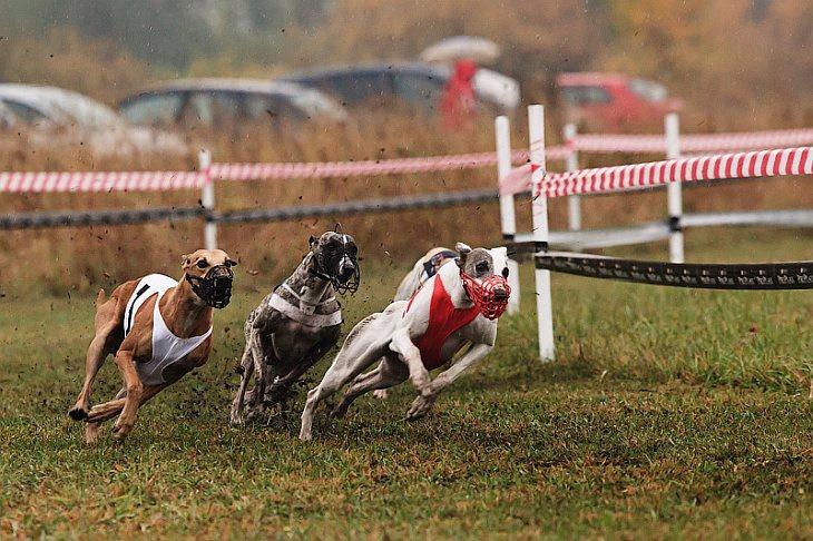 Собачьи-бега-ставки